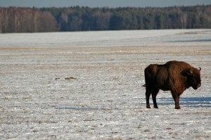 Wisent, near Novy Dvor, Hrodna Region, Belarus