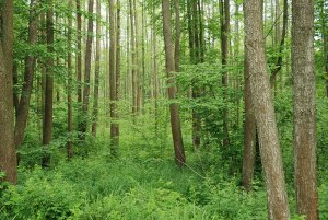 Polesian Forest, near Kovel, Volyn Region, Ukraine