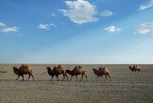 Bactrian Camels, Atyrau Region, Kazakhstan