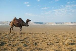 Bactrian Camel, near Shayyr, Mangystau Region, Kazakhstan