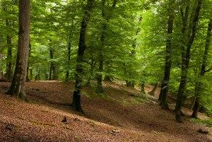 Beech Forest, near Sari, Mazandaran Province, Iran