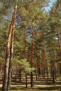 Pine Forest, Novoyegoryevskoye, Altai Territory, Russia