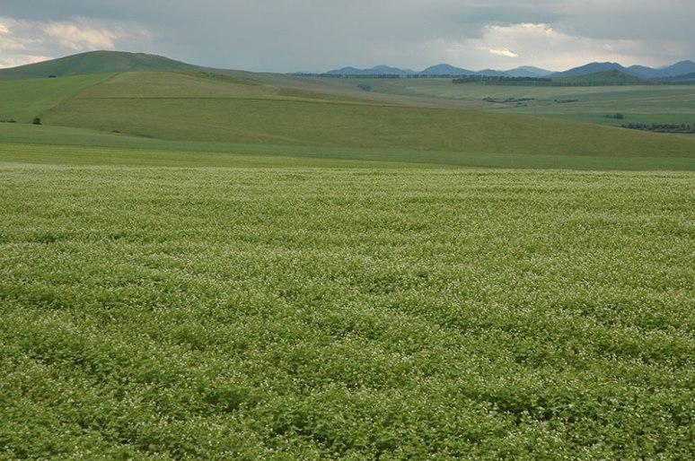 Crop Fields, near Belokurikha, Altai Territory, Russia