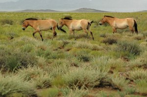 Przewalski's Horses, Great Gobi 'B' Strictly Protected Area, Govi-Altai Province, Mongolia