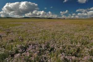 Wildflowers, near Tudevtei, Zavkhan Province, Mongolia