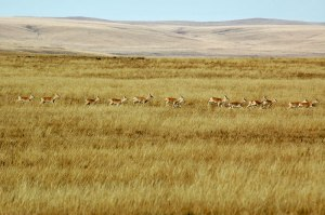 Gazelle, Dornod Mongol Steppe, Dornod Province, Mongolia