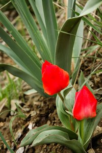 Tulipa greigii, Sayram-Ugam National Park, South Kazakhstan Region, Kazakhstan