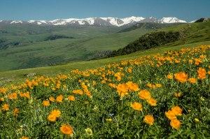 Wildflowers, Dzungarian Alatau, Almaty Province, Kazakhstan