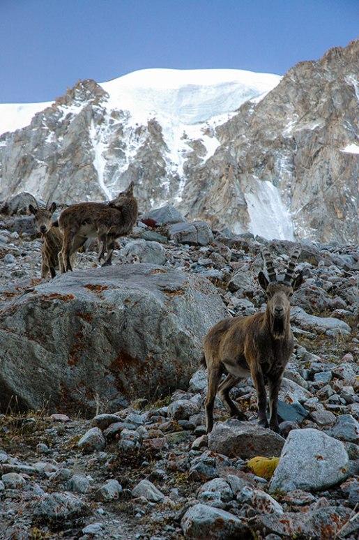 Ibex, Ala Archa National Park, Chuy Region, Kyrgyzstan
